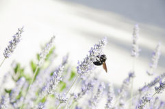 Biene und Lavendel Stockbilder