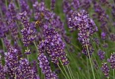 Biene und Lavendel Lizenzfreies Stockbild