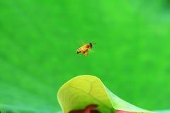 Biene und Lotos Stockfotografie