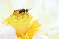 Biene und Lotos seedpod Stockbild