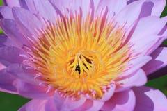 Biene und Lotus Lizenzfreies Stockbild