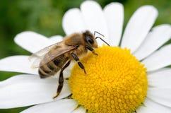 Biene und matrijs Blume Royalty-vrije Stock Foto