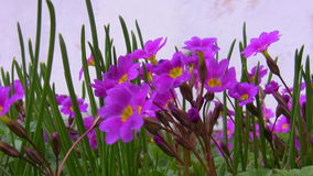 Biene und purpurrote Blumen