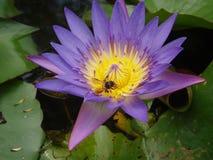 Biene und purpurroter Lotos Stockfoto
