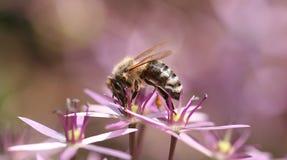 Biene und rosafarbene Blume Lizenzfreie Stockfotografie