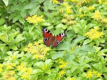 Biene und Schmetterling auf Blumen Lizenzfreies Stockfoto