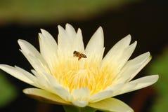 Biene und Seerose Lizenzfreies Stockbild