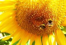 Biene und Sonnenblume lizenzfreies stockfoto