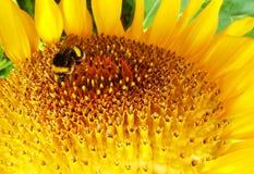 Biene und Sonnenblume stockfoto