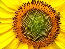 Biene und Sonnenblume Stockbild