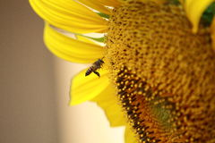 Biene und Sonnenblume stockbilder