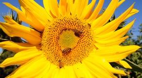 Biene und Sonnenblume Stockfotografie