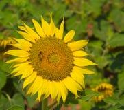 Biene und Sonnenblume Lizenzfreies Stockbild