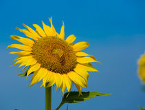 Biene und Sonnenblume Lizenzfreie Stockbilder