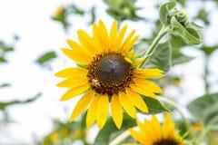 Biene und Sonnenblume Stockfotos