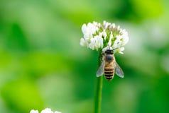 Biene und weiße Blume Stockbild