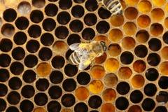Biene und Zelle stockbild