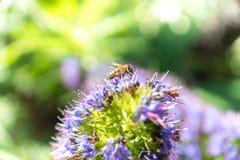 Biene ungefähr, zum einer Blume zu bestäuben Stockbild