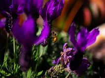 Biene unter purpurroten Blumen in der Sommerzeit lizenzfreie stockfotografie