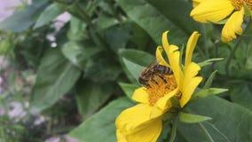 Biene verschiebt sich auf den gelben Blumen auf der Straße im Freien stock footage