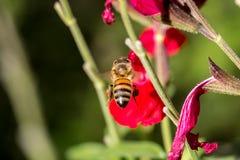 Biene während des Betriebs Stockfotografie