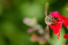 Biene während des Betriebs Lizenzfreie Stockfotos