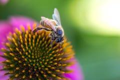 Biene während des Betriebs Stockfotos