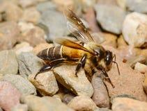 Biene am Wasserfall Stockfotos