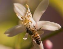 Biene - Zeit zu Mittag zu essen Lizenzfreie Stockfotos