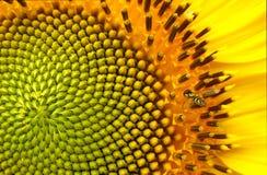 Biene zu einer Sonnenblume Lizenzfreie Stockbilder
