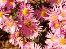 Biene zum zu blühen Lizenzfreie Stockfotografie