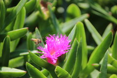 Biene zum zu blühen Stockbild