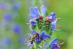 Bienebei der Nektarsuche Royalty-vrije Stock Foto's