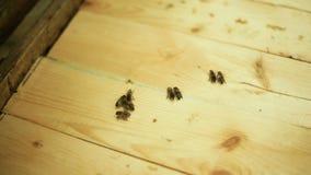Bienen überprüfen die Holzoberfläche ruhe stock video