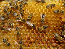 Bienen Lizenzfreie Stockbilder