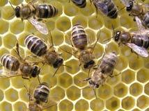 Bienen Lizenzfreies Stockfoto