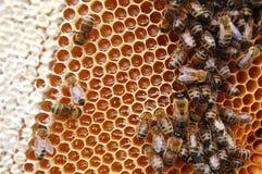 Bienen auf Bienenwabe Stockbild