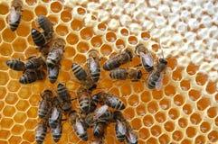 Bienen auf Bienenwabe Lizenzfreies Stockbild