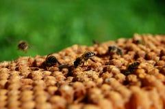 Bienen auf Bienenwabe Stockbilder