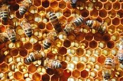 Bienen auf Bienenwabe Lizenzfreie Stockbilder