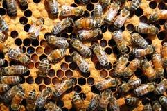 Bienen auf Bienenwabe Lizenzfreie Stockfotos