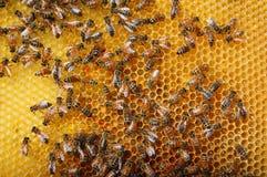 Bienen auf Bienenwabe Stockfoto