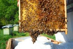 Bienen auf Bienenwabe Lizenzfreies Stockfoto