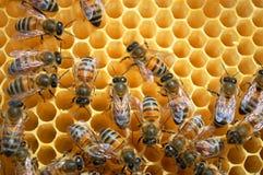 Bienen auf Bienenwabe Stockfotografie