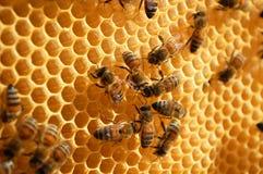 Bienen auf Bienenwabe Stockfotos