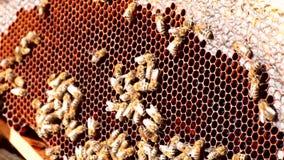 Bienen auf Bienenwabe stock footage
