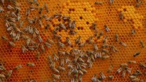 Bienen auf Bienenwabe stock video