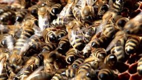 Bienen auf Bienenwabe mit Honig stock footage