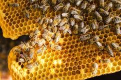 Bienen auf Bienenwaben Stockfotografie