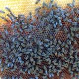 Bienen auf Bienenwabenfunktion Stockfoto